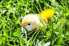 gulliga hönor som kläckas nytt Vårfågelungar Arkivbild