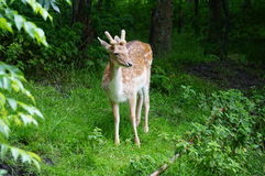 gulliga hjortar Royaltyfri Bild