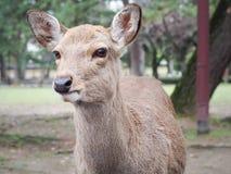 Gulliga hjortar i Nara Park Arkivbild