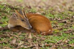 gulliga hjortar little Royaltyfria Bilder