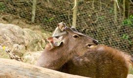 Gulliga hjortar och apa Royaltyfri Bild