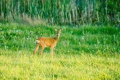 Gulliga hjortar på ett grönt fält Fotografering för Bildbyråer