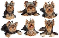 gulliga hundar för samling Arkivfoto