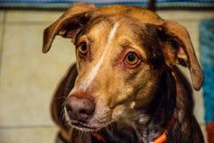 Gulliga hundvarningsöron up och det klara blandade avelbruntlaget Royaltyfri Foto