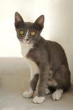 Gulliga husdjur för grå katt Arkivbild