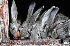 Gulliga husdjurkaniner i en bur Arkivfoton