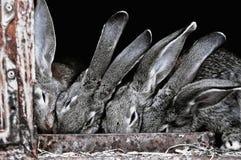 Gulliga husdjurkaniner i en bur Arkivfoto