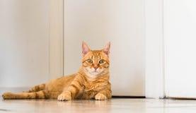Gulliga inhemska Ginger Tabby Cat Laying på golvet arkivfoto