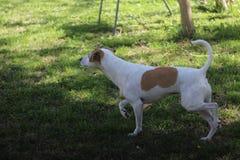 Gulliga Jack Russell Terrier Mix Dog Walks som är framåt, och blickar till sidan fotografering för bildbyråer