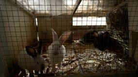 Gulliga kaniner i kaninbur stock video