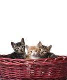 Gulliga katter i korgen Arkivbilder