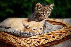 Gulliga katter som lägger i korgen Arkivfoto