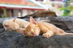 Gulliga katter som sover i tempelgården Arkivbild