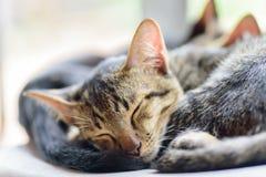Gulliga katter sover tillsammans Royaltyfria Bilder