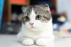 Gulliga kattsömnar, skotskt veck arkivbild