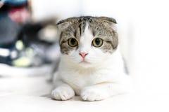 Gulliga kattsömnar, skotskt veck royaltyfri foto