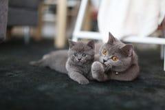 Gulliga kattungar brittiska Shorthair på mattan Royaltyfri Bild