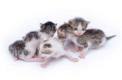 gulliga kattungar för bakgrund som leker white Arkivbild