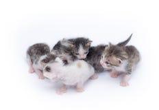 gulliga kattungar för bakgrund som leker white Royaltyfri Fotografi