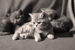 Gulliga kattungar på golvet Arkivfoton