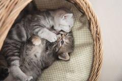 Gulliga kattungar som spelar i vide- säng Royaltyfri Foto