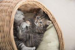 Gulliga kattungar som spelar i vide- säng Arkivbilder