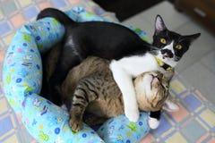 gulliga kattungar två Arkivfoto