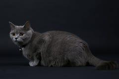 Gulliga Kitten Walking Fotografering för Bildbyråer