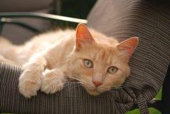 Gulliga Kitty Stare Arkivfoton