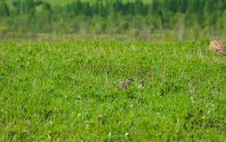 Gulliga lösa goffer i gräset Arkivfoton