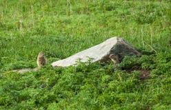 Gulliga lösa goffer i gräset Arkivfoto