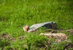 Gulliga lösa goffer i gräset Royaltyfri Fotografi