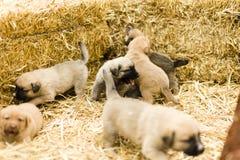 Gulliga labrador puppys Arkivfoto