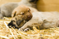 Gulliga labrador puppys Royaltyfria Bilder