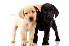 gulliga labrador valpar två Royaltyfria Bilder