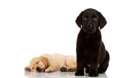 gulliga labrador valpar två Fotografering för Bildbyråer