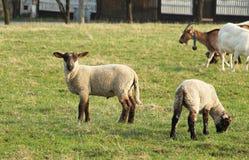gulliga lambs Arkivfoton