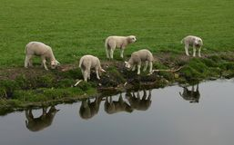 Gulliga lamm Arkivbild