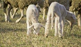 Gulliga lamm i samer 1 Arkivbilder