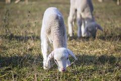 Gulliga lamm i samer 2 Royaltyfri Foto
