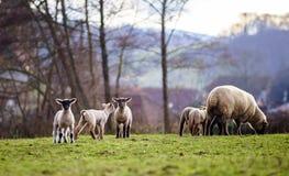 Gulliga lamm med vuxna sheeps i vinterfältet Royaltyfria Foton