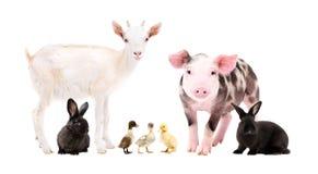 Gulliga lantgårddjur som tillsammans står royaltyfri fotografi