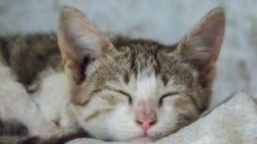 Gulliga lilla Cat Kitten Sleeping Arkivfoton