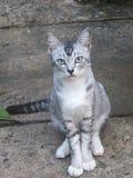 Gulliga lilla Grey Kitten med gröna ögon royaltyfria bilder