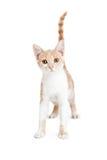 Gulliga lilla Tabby Kitten Standing Arkivfoto