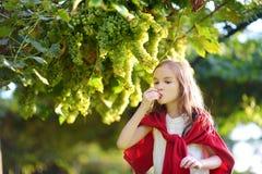Gulliga liten flickaplockningdruvor i en vingård arkivbilder