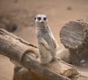 Gulliga Meerkat royaltyfria foton
