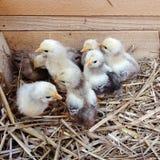 Gulliga nyfödda fågelungar i en träask royaltyfria bilder
