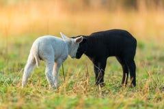 Gulliga olika svartvita unga lamm betar på Royaltyfria Bilder