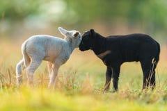 Gulliga olika svartvita unga lamm betar på Arkivbilder